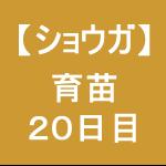 【ショウガ9】  育苗20日目/ぐいぃっと芽が出た!!(*゚ヮ゚*)