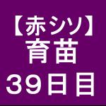 【赤シソ12】 育苗/39日目/育苗で一発で死ぬ!!(´ω`)