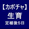 【カボチャ7】 生育5日後/活着(かっちゃく)しました☆
