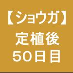 【ショウガ21】 定植後50日後 (´ω`)