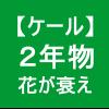 【ケール52】 とう立ち3/花も衰え行く(。´_`。)