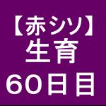 【赤シソ31】 定植後60日 (*゚ー゚)