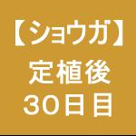 【ショウガ19】 定植後30日後 ( ´,_ゝ`)
