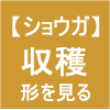 【ショウガ26】収穫した生姜を観察してみた(o'∀')b