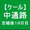 【ケール31】 生育/定植後19日目/中通路作り( ゚∀゚)ノ