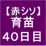 【赤シソ13】 育苗/40日目/でらぁ・もさもさ状態~(*゚ー゚*)