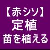 【赤シソ15】 定植/苗を定植機で植える (*´Д`)/