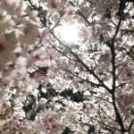 【2015桜】宮城県/登米市/びょうどう沼・桜祭り☆