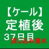 【ケール37】 生育/定植後37日目/流し込み灌水 (*・∀・)