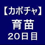 【カボチャ5】 育苗/育苗20日目/まあまあです(*´∀`)