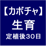 【カボチャ8】 生育30日後/実が成った!!