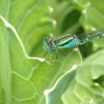 【カボチャ9】虫/きれいな緑色のトンボ(*'ェ'*)