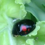 【ケール60】 朝の虫たち/アブラムシ、てんとう虫、モンシロチョウ(´・ェ・`)