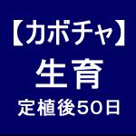 【カボチャ11】 生育50日後/間もなく収穫できそう!!