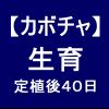 【カボチャ10】 生育40日後/実が大きくなった!!