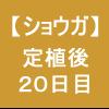 【ショウガ17】 定植後20日後 ヽ(´∀`)ノ