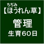 【寒締めほうれん草8】播種後60日ヽ(´∀`)ノ