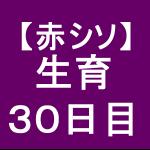 【赤シソ23】 定植後30日(´・ェ・`)
